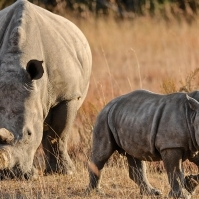 rhino-and-calf-5501-copy